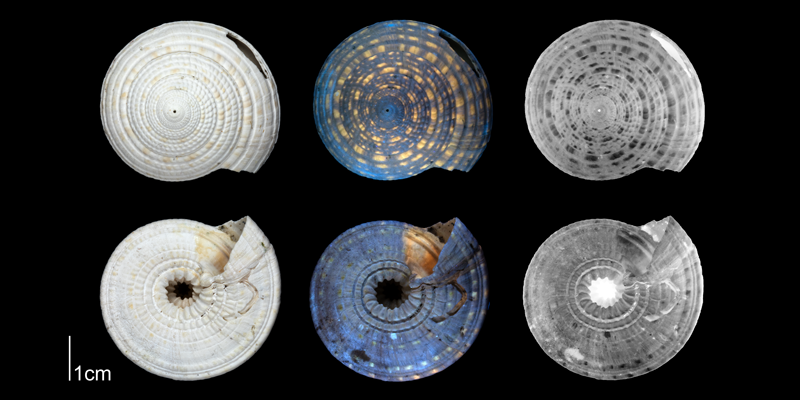 <i>Architectonica nobilis</i> from the Plio-Pleistocene of Florida, showing coloration pattern revealed by ultraviolet light (PRI 70686).