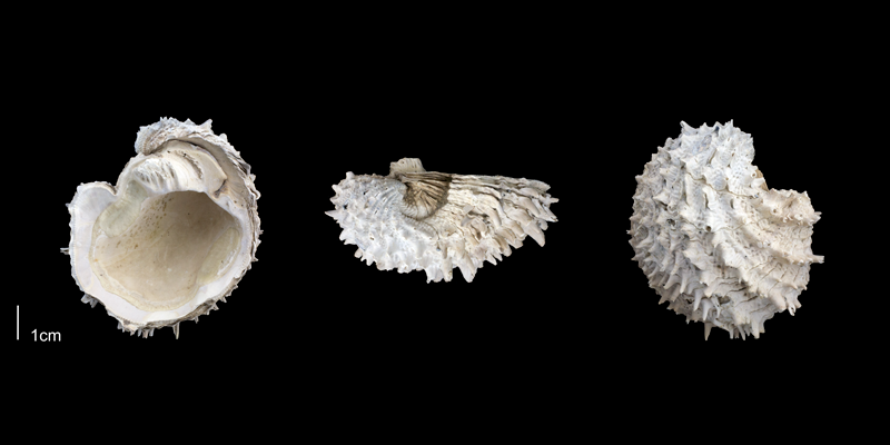 <i>Arcinella cornuta</i> from the Late Pliocene Tamiami Fm. (Pinecrest Beds) of Sarasota County, Florida (PRI 70117).