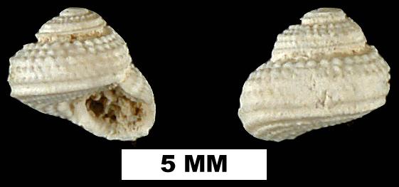 <i>Arene solariella</i> from the Late Oligocene to Early Miocene Arcadia Fm. of Hillsborough County, Florida (UF 189832).