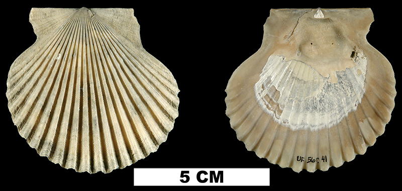 <i>Argopecten comparilis</i> from the Late Pliocene Tamiami Fm. (Pinecrest Beds) of Collier County, Florida (UF 56041).