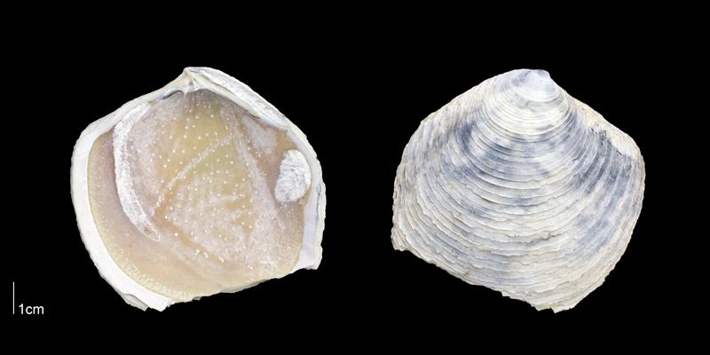 <i>Armimiltha disciformis</i> from the Late Pliocene Tamiami Fm. (Pinecrest Beds) of Sarasota County, Florida (PRI 70175).