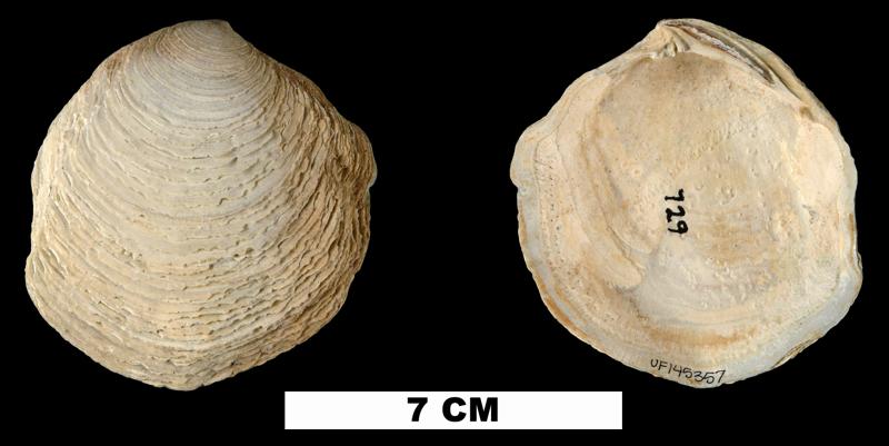 <i>Armimiltha disciformis</i> from the Late Pliocene Tamiami Fm. (Pinecrest Beds) of Sarasota County, Florida (UF 145357).
