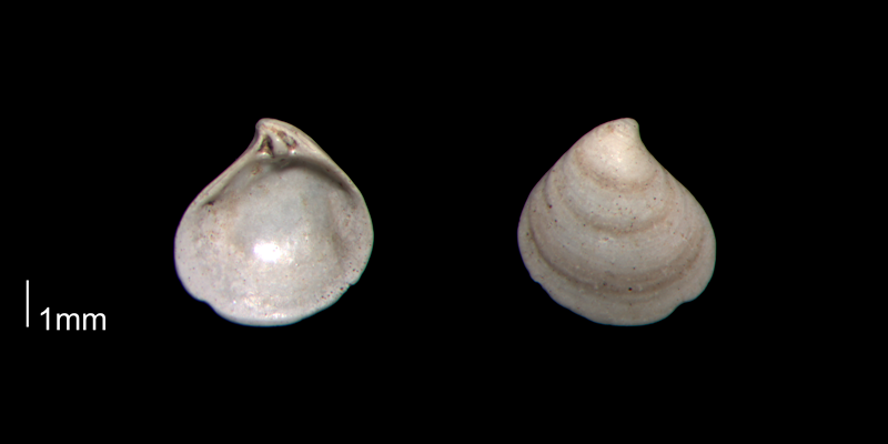 <i>Astarte berryi</i> from the Early Pleistocene James City Fm. of Beaufort County, North Carolina (PRI 70509).