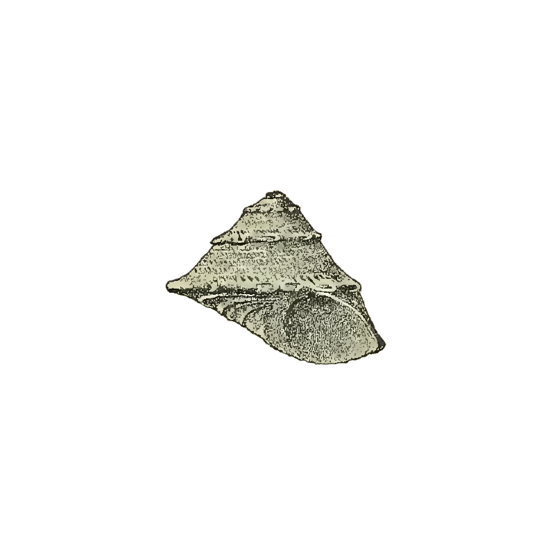 Specimen of <i>Astralium dalli</i> figured by Maury (1910, pl. 8, fig. 3); 3.5 mm in length.