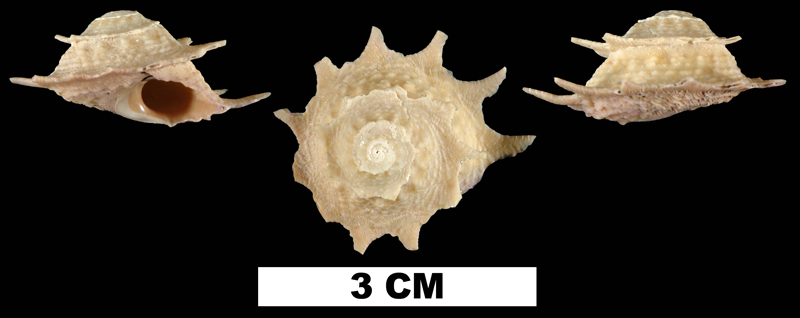 <i>Astralium phoebium</i> from the Middle Pleistocene Bermont Fm. of Palm Beach County, Florida (UF 200572).