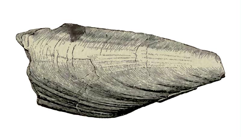 Specimen of <i>Atrina harrisii</i> figured by Dall (1898, pl. 29, fig. 11); 150 mm in length.