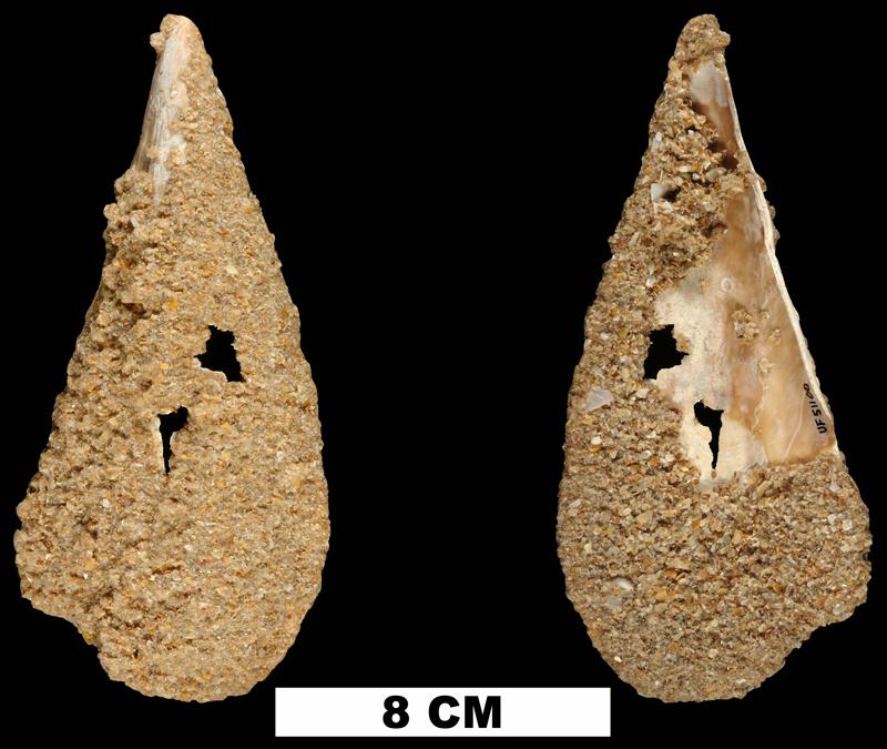 <i>Atrina rigida</i> from the Late Pleistocene Anastasia Fm. of Brevard County, Florida (UF 51100).
