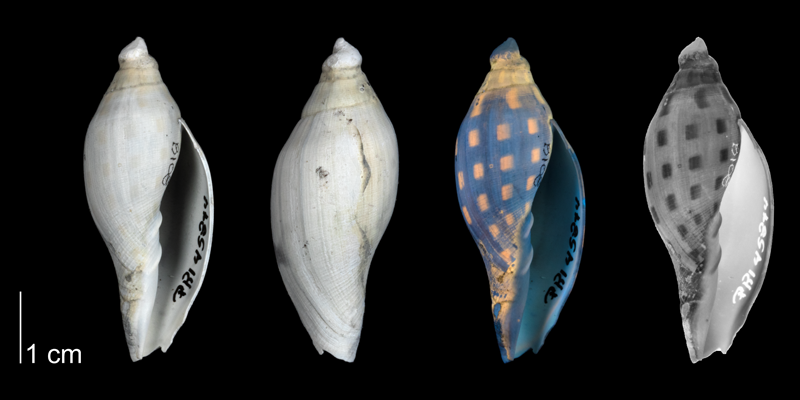 <i>Aurinia obtusa</i> from the Tamiami Formation (Pinecrest Beds) of Florida shown under regular and ultraviolet light, revealing the original coloration pattern of the shell; (PRI 45844).