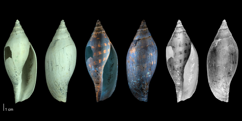 <i>Aurinia obtusa</i> from the Tamiami Fm. (Pinecrest Beds) Florida,  shown under regular (left) and ultraviolet light (middle); the pair on the right are reversed images, showing the coloration pattern of this species as it would have appeared in life (PRI 45844).
