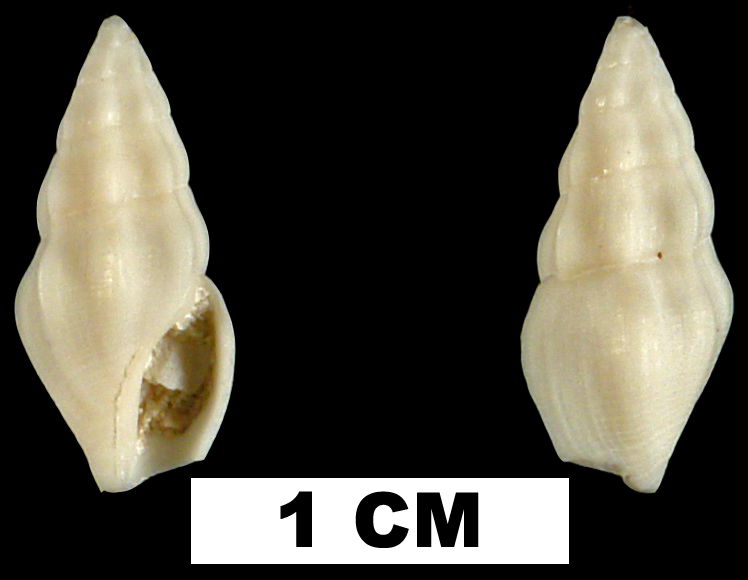 <i>Bellaspira pentagonalis</i> from the Late Pliocene Tamiami Fm. (Pinecrest Beds) of Collier County, Florida (UF 71543).