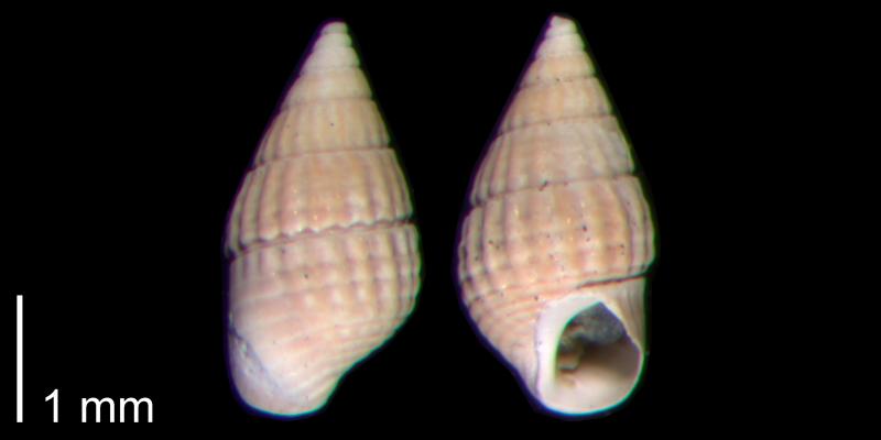 <i>Bittiolum podagrinum</i> from the Early Pleistocene James City Fm. of Beaufort County, North Carolina (PRI 70484-1).