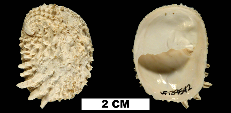 <i>Bostrycapulus aculeatus</i> from the Early Pleistocene Caloosahatchee Fm. of DeSoto County, Florida (UF 139542).