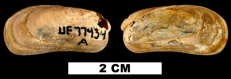 <i>Botula fusca</i> from the Early Miocene Chipola Fm. of Calhoun County, Florida (UF 77434).