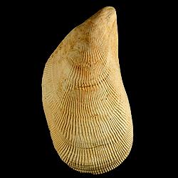 Brachidontes exustus