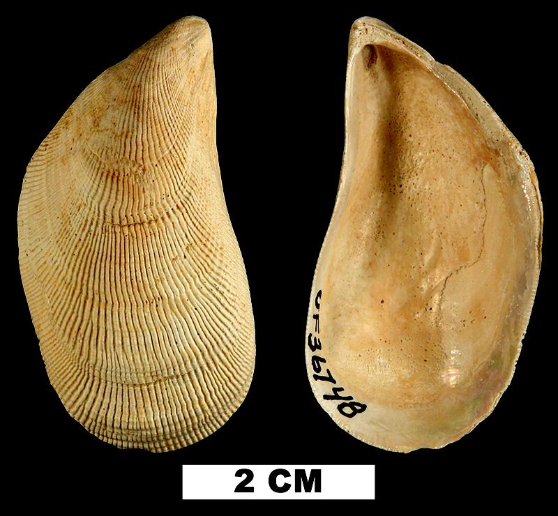 <i>Brachidontes exustus</i> from the Early Pleistocene Caloosahatchee Fm. of De Soto County, Florida (UF 36748).