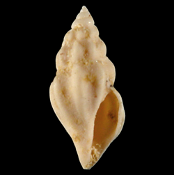 Brachycythara dasa