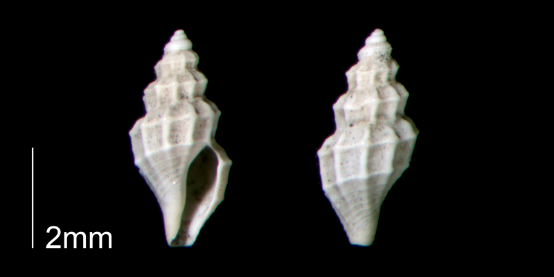 <i>Brachycythara reidenbachi</i> from the Early Pleistocene Waccamaw Fm. of Brunswick County, North Carolina (PRI 70460-1).
