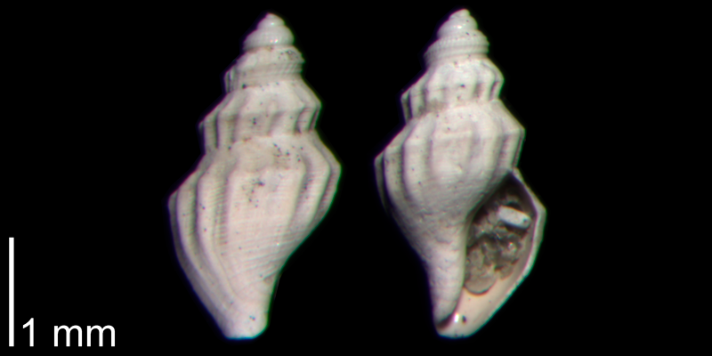 <i>Brachycythara reidenbachi</i> from the Early Pleistocene James City Fm. of Beaufort County, North Carolina (PRI 70500).