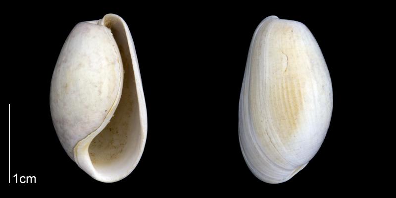 <i>Bulla striata</i> from the Late Pliocene Tamiami Fm. (Pinecrest Beds) of Sarasota County, Florida (PRI 70086).