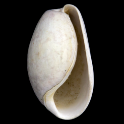 Cephalaspidea