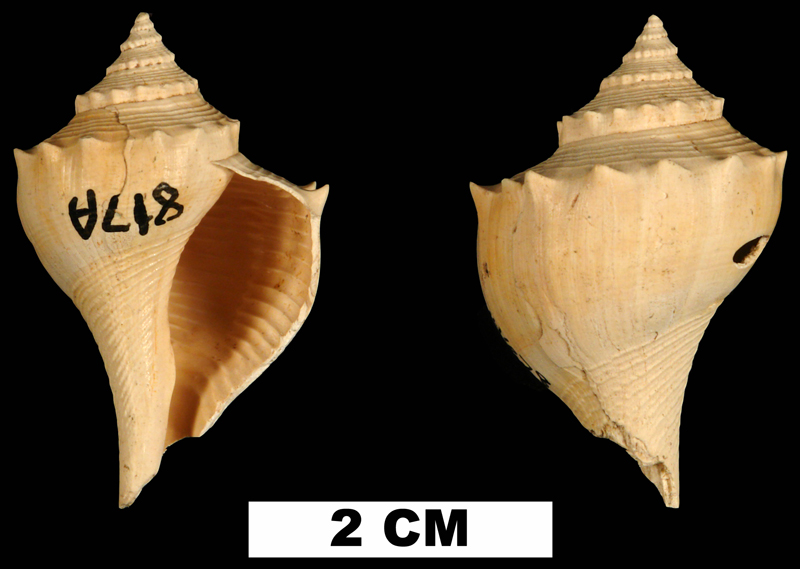 <i>Busycon epispiniger</i> from the Early Miocene Chipola Fm. of Calhoun County, Florida (UF 144678).