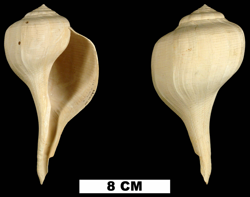 <i>Busycon rapum</i> from the Early Pleistocene Caloosahatchee Fm. of Hendry County, Florida (UF 15749).