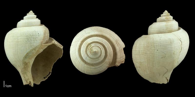 <i>Busycotypus scotti</i> from the Plio-Pleistocene Nashua Formation of Putnam County, Florida (PRI 70666).