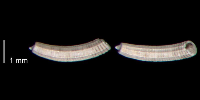 <i>Caecum cooperi</i> from the lower Pleistocene James City Formation of Beaufort County, North Carolina (PRI 70493).