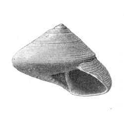 Calliostoma armillatum