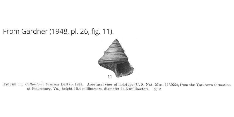 Calliostoma basicum from Gardner (1948), pl. 26, fig. 11. Holotype, USNM 113022. Yorktown Formation, Petersburg, Virginia.