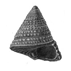 Calliostoma cheopsi
