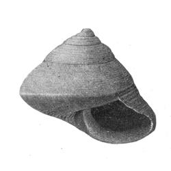 Calliostoma conradi