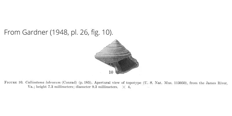 <i>Calliostoma labrosum</i> from Gardner (1948), pl. 26, fig. 10. USNM 113050. James River, Virginia.
