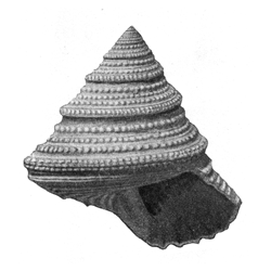 Calliostoma mitchelli
