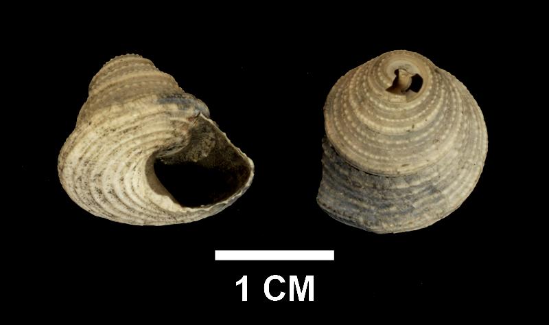 <i>Calliostoma mitchelli</i>from the upper Pliocene Yorktown Formation of Suffolk County, Virginia(SDSM 139687).
