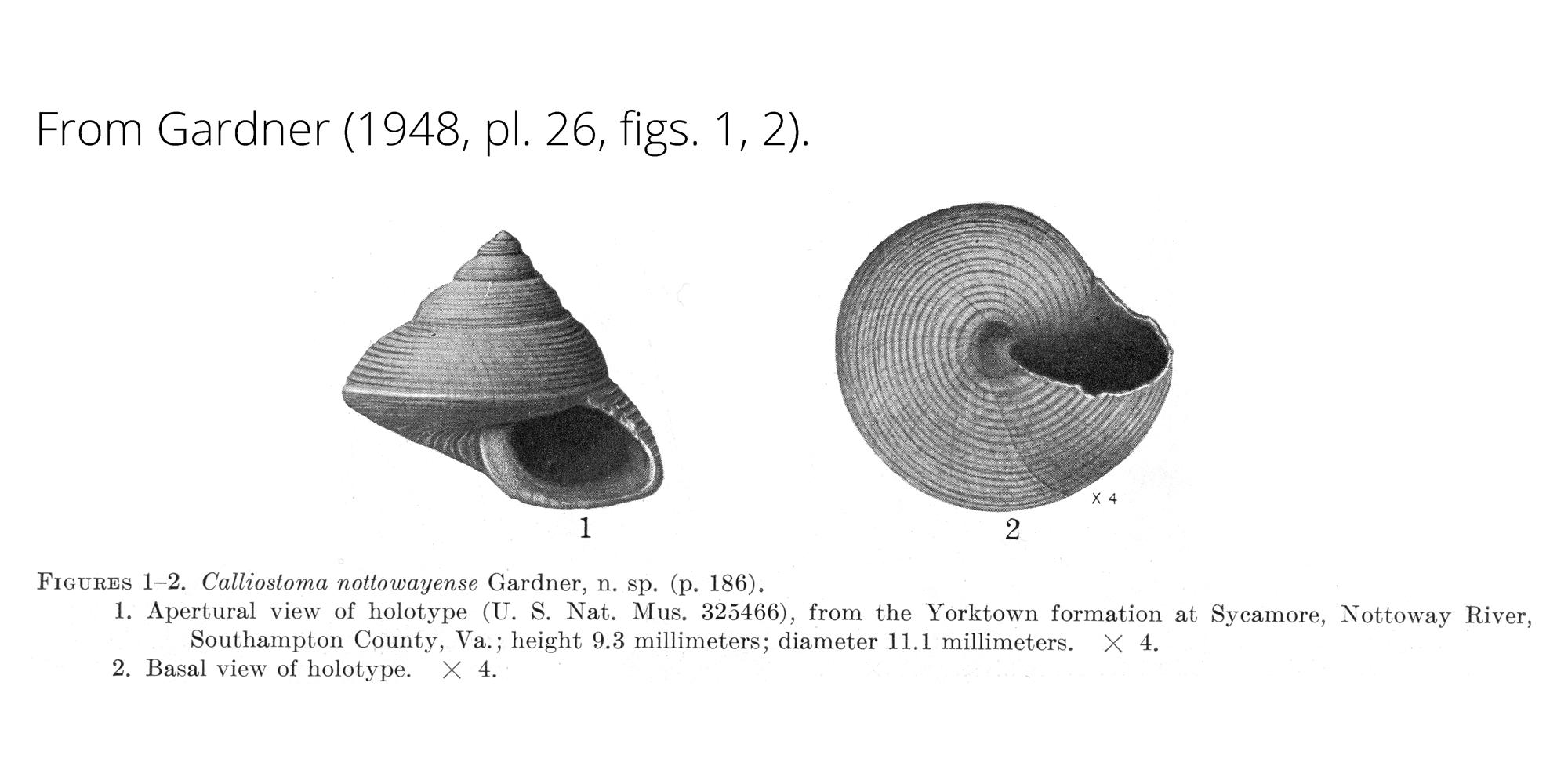 <i>Calliostoma nottowayense</i> from Gardner (1948), pl. 26, figs. 1, 2. Holotype USNM 325466. Yorktown Formation, Southampton County, Virginia.