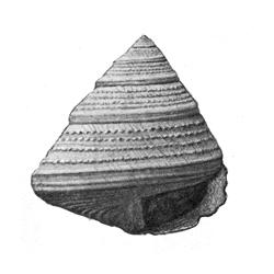 Calliostoma philanthropum pontoni