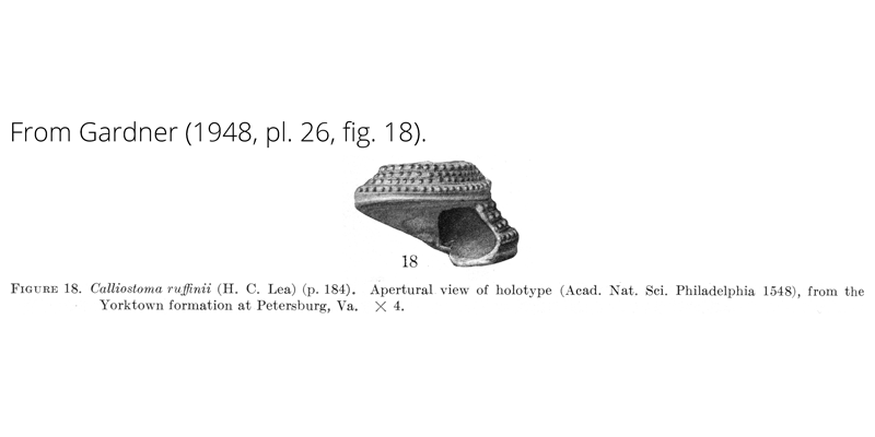 <i>Calliostoma ruffinii</i> from Gardner (1948), pl. 26, fig. 18. Holotype, ANSP 1548. Yorktown Formation, Petersburg, Virginia.