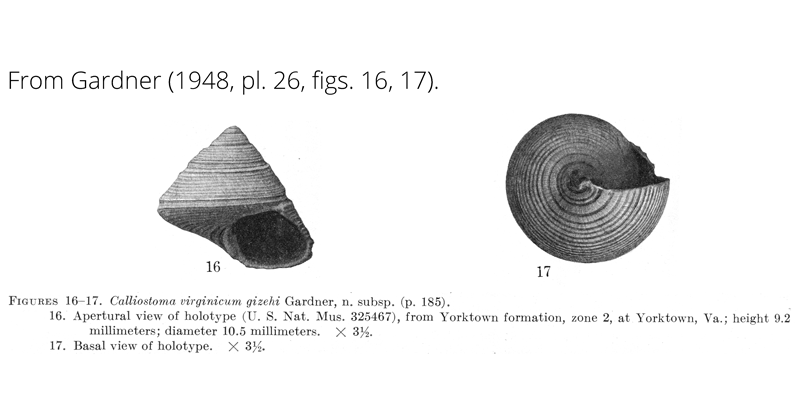 <i>Calliostoma virginicum gizehi</i> from Gardner (1948), pl. 26, figs. 16, 17. Holotype USNM 325467. Yorktown Formation, Yorktown, Virginia.
