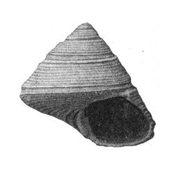 Calliostoma virginicum gizehi