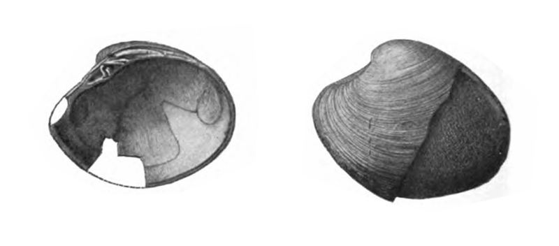 Specimen of <i>Callocardia prosayana</i> figured by Gardner (1926, pl. 25, fig. 13 and 14); 35.5 and 38.5 mm in length, respectively.