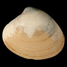 Callocardia prosayana
