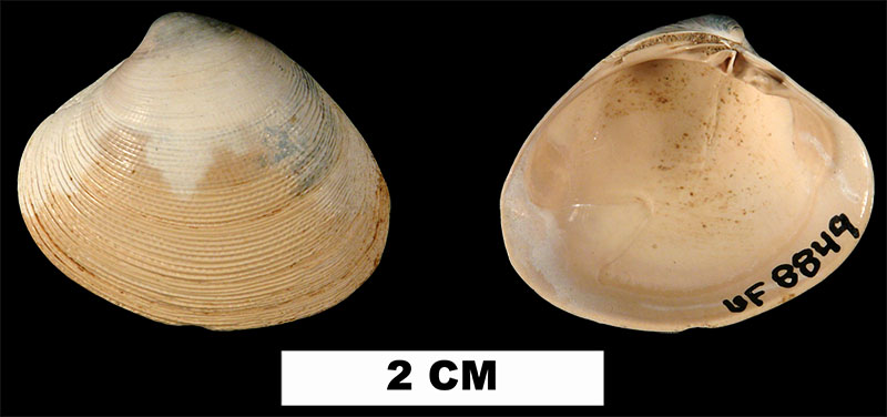 <i>Callocardia prosayana</i> from the Early Miocene Chipola Fm. of Calhoun County, Florida (UF 8849).