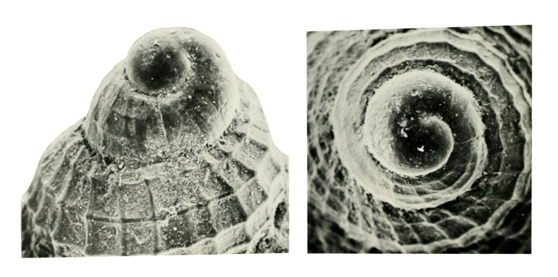 Specimen of <i>Calophos wilsoni</i> figured by Allmon (1990, pl. 12, fig. 11 and 12); lateral view and apical view, respectively; x50.