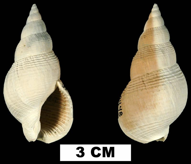 <i>Calophos wilsoni</i> from the Plio-Pleistocene (formation unknown) of Sarasota County, Florida (UF 38448).