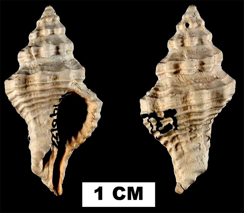 <i>Calotrophon ostrearum</i> from the Middle Pleistocene Bermont Fm. of Palm Beach County, Florida (UF 140153).
