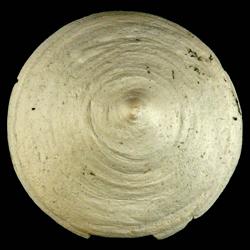 Calyptraea centralis