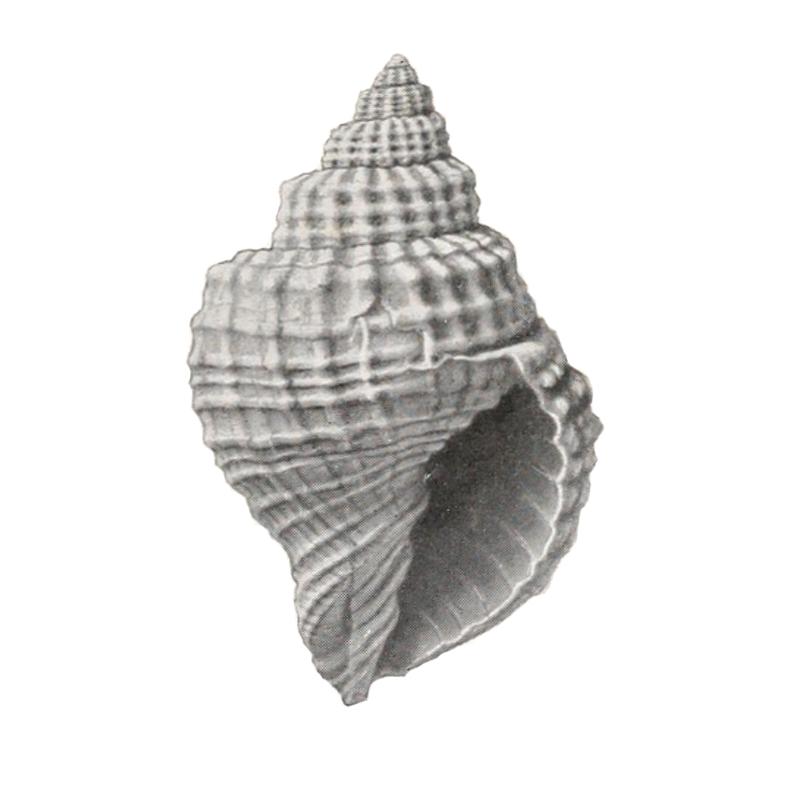 Specimen of <i>Cancellaria tabulata</i> figured by Gardner and Aldrich (1919, pl. 1, fig. 9).