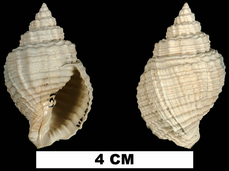 <i>Cancellaria tabulata</i> from the Tamiami Fm. (Pinecrest Beds) of Sarasota County, Florida (UF 183249).