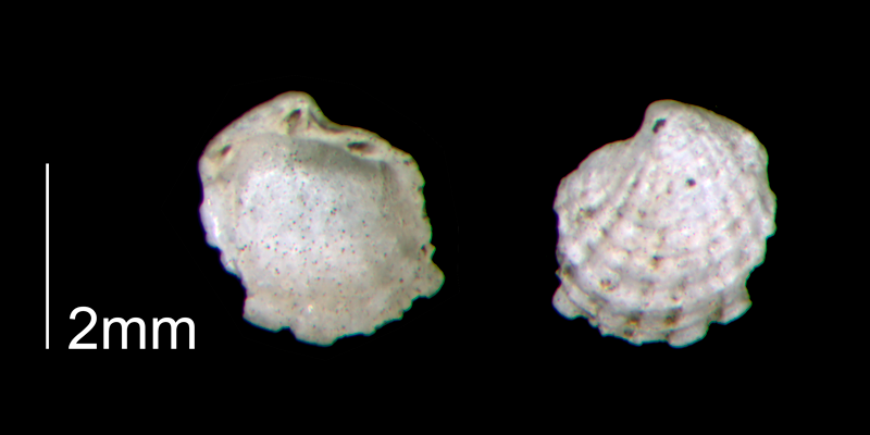 <i>Cardiolucina waccamawensis</i> from the Early Pleistocene Waccamaw Fm. of Brunswick County, North Carolina (PRI 70442).